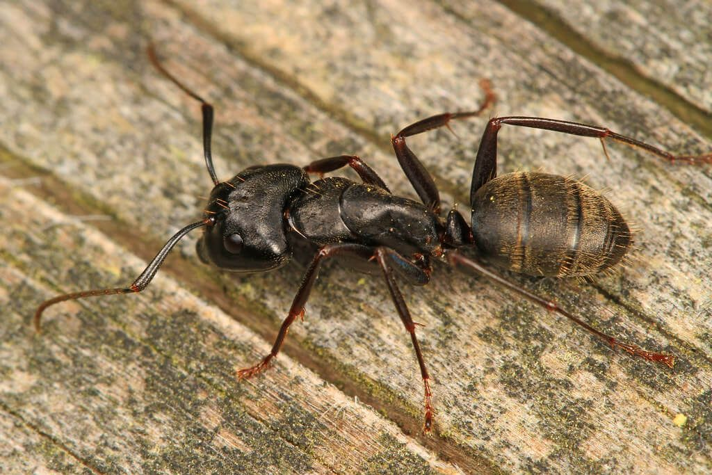 Carpenter ants like to invade your home