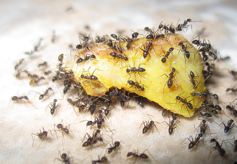 ant colony on a food source