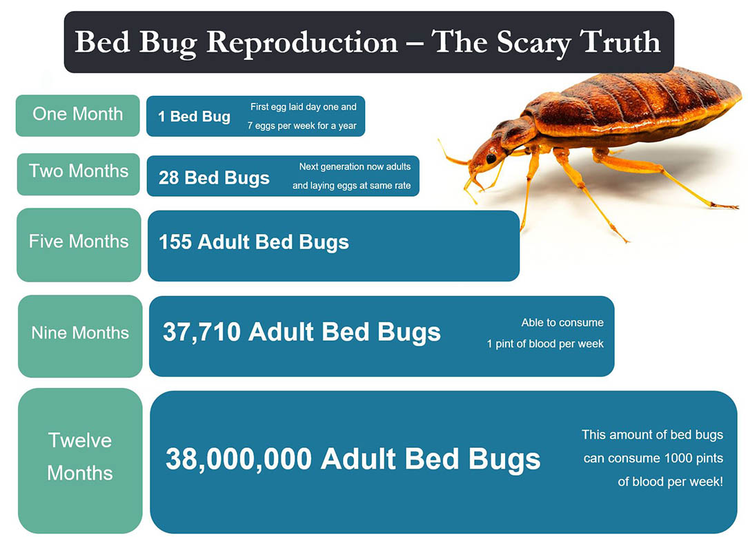 Lifecycle and reproduction rate of bed bugs