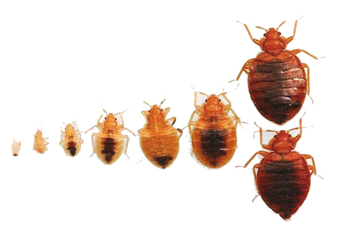 Bed bugs in different colors and growth stages