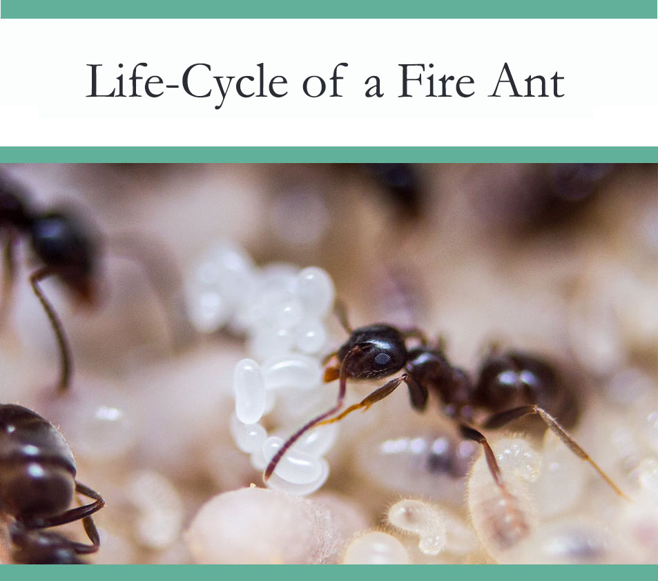 Life Cycle of Fire ants