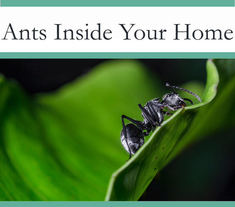 Ants Inside your home