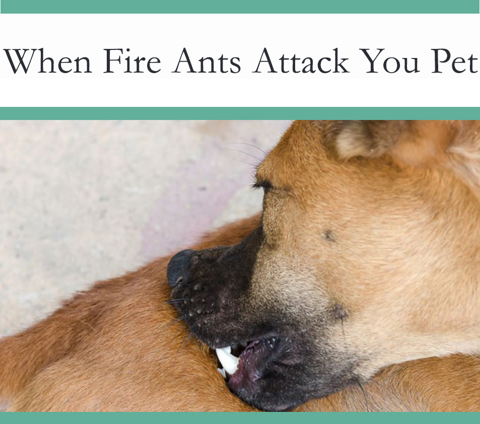 Fire ants attacking a dog