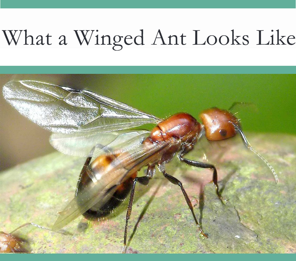 Flying ant with wings