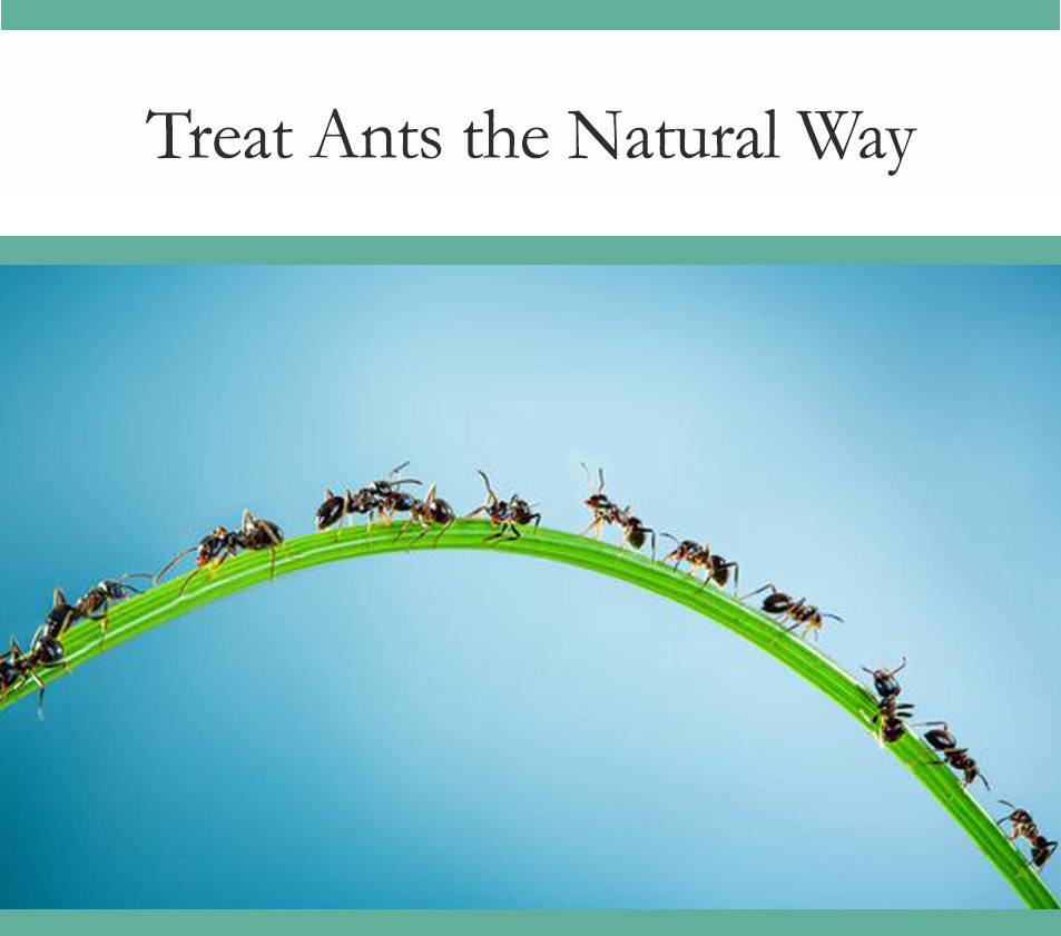 Natural ant treatment