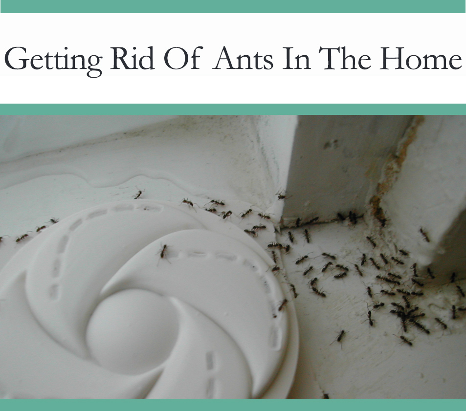 Howto get rid of ants in your home