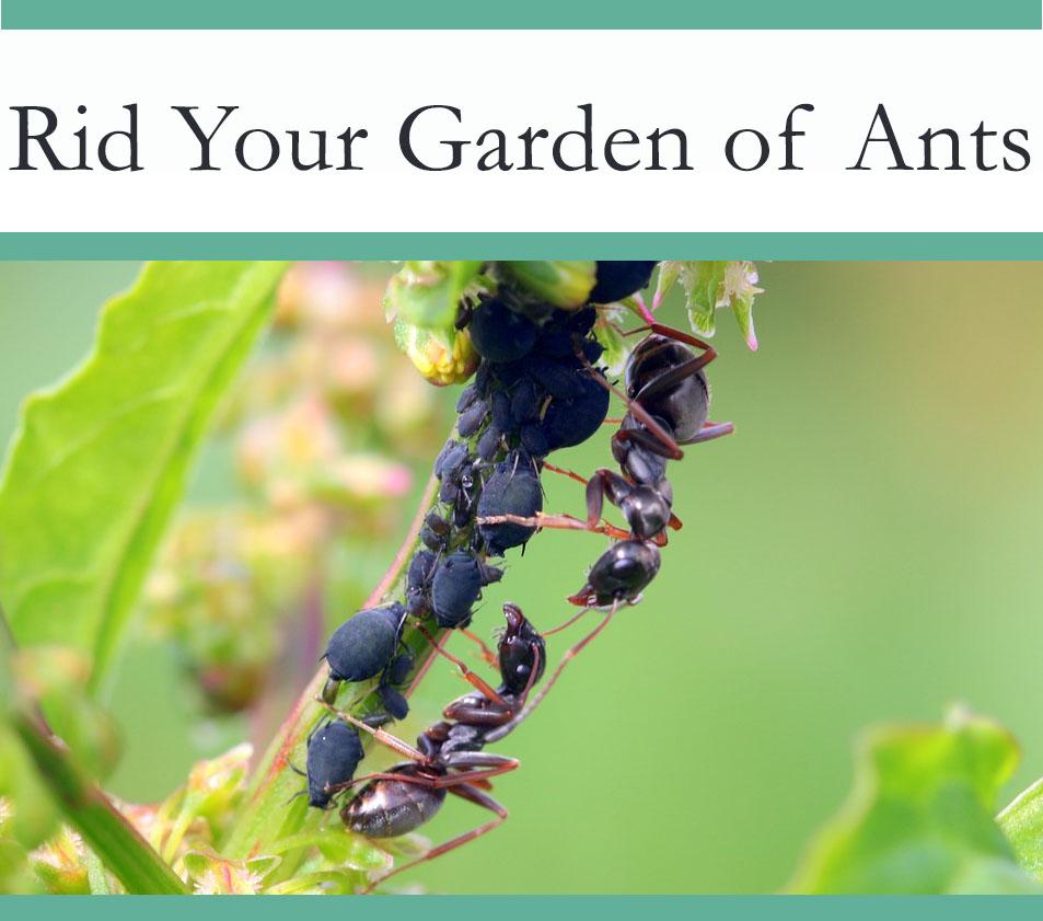Get rid of ants in your garden