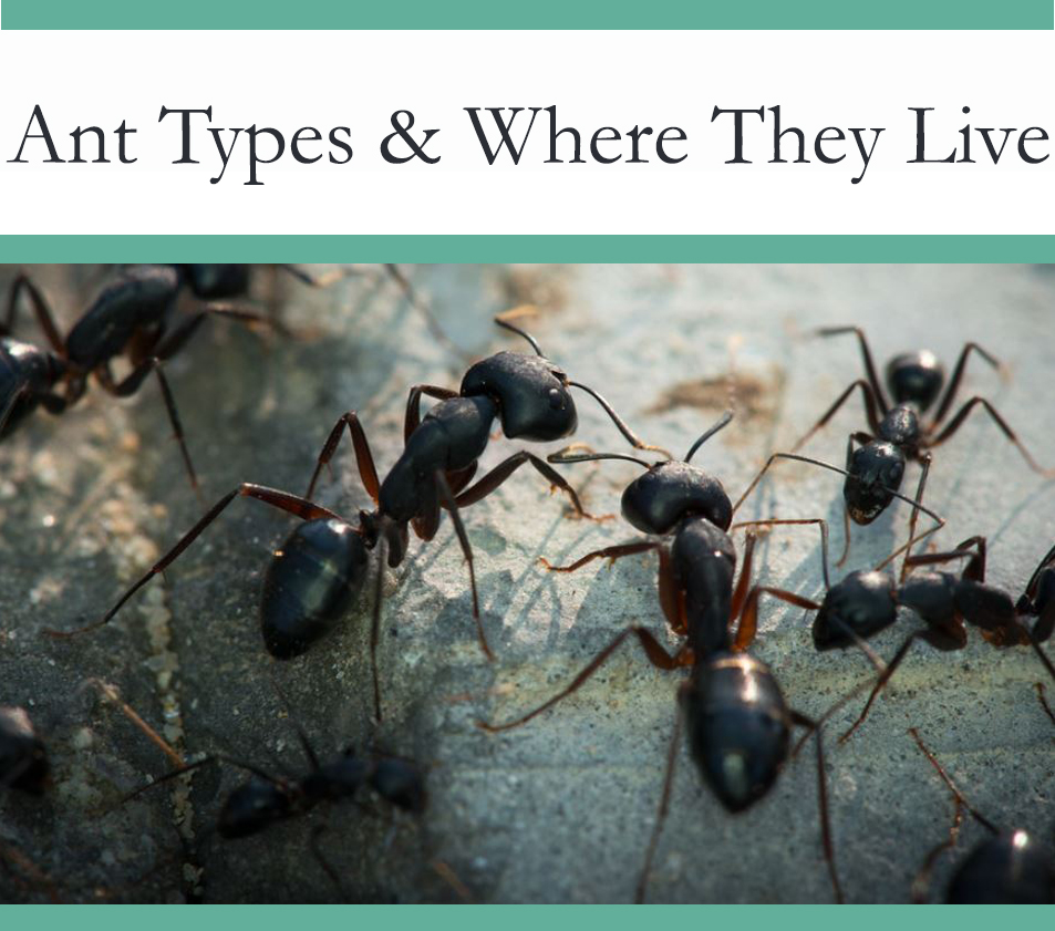 Different Type of Ants