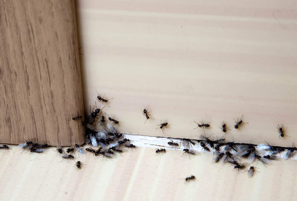 Ants entering a home