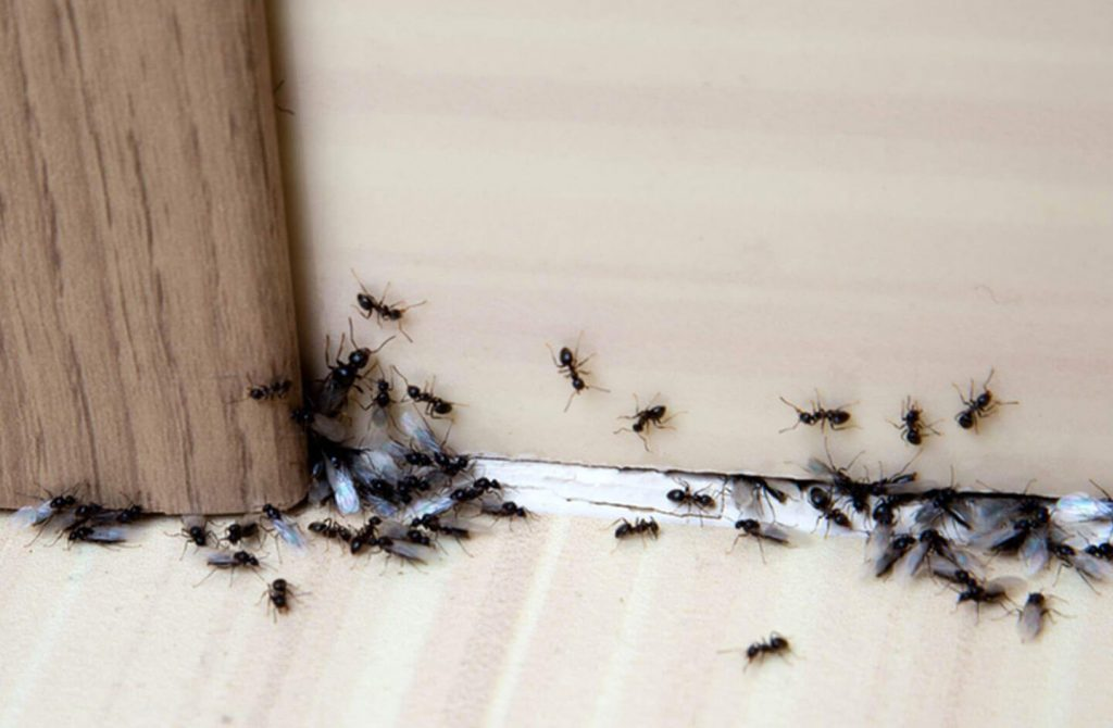 ant colony invading a house