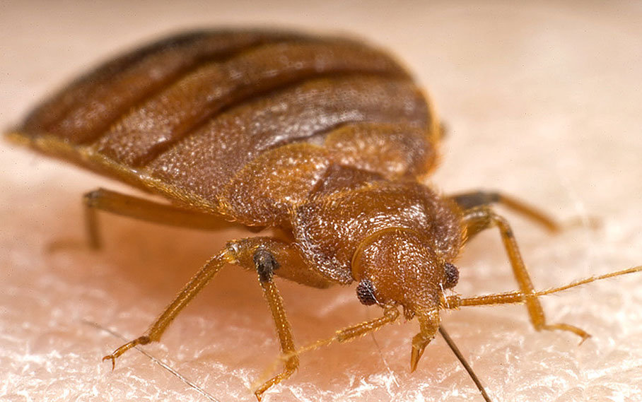 closeup of a bed bug