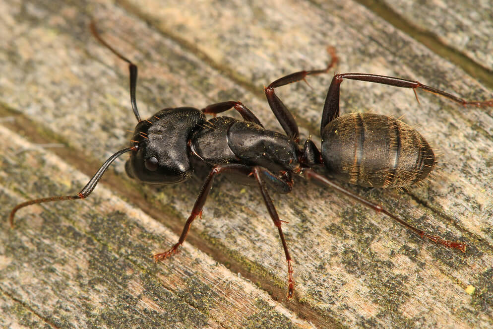 Carpenter ant closeup