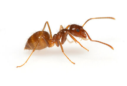 Controlling Crazy Ants