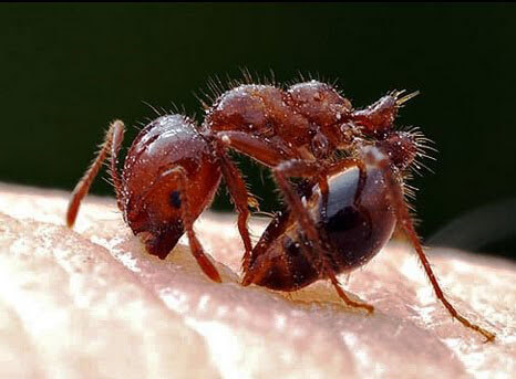 Fire ant biting and stinging