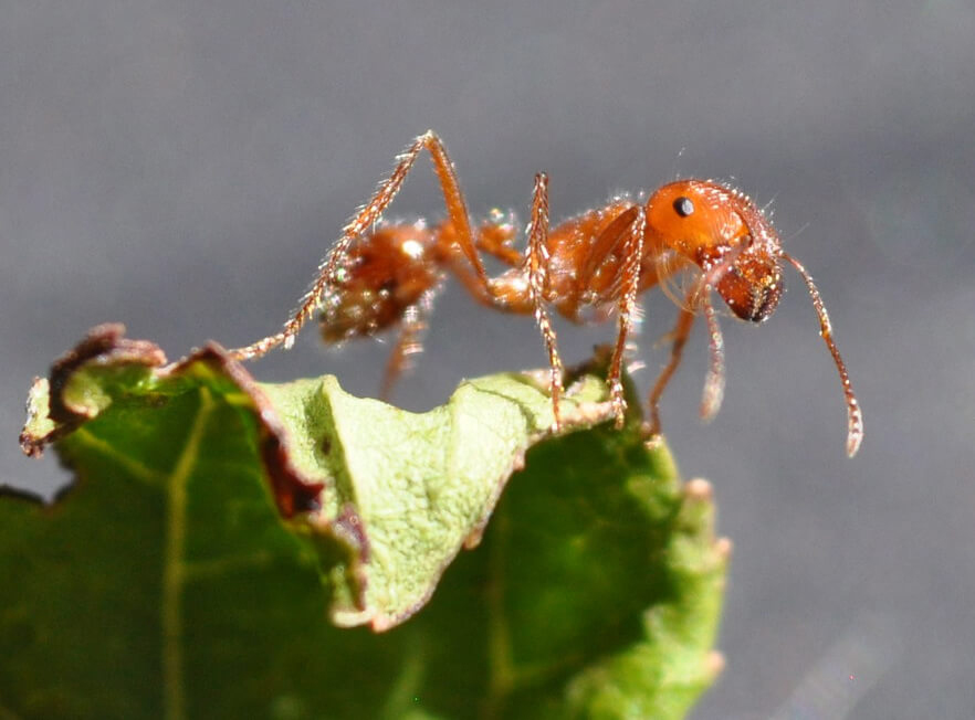 Fire ant closeup