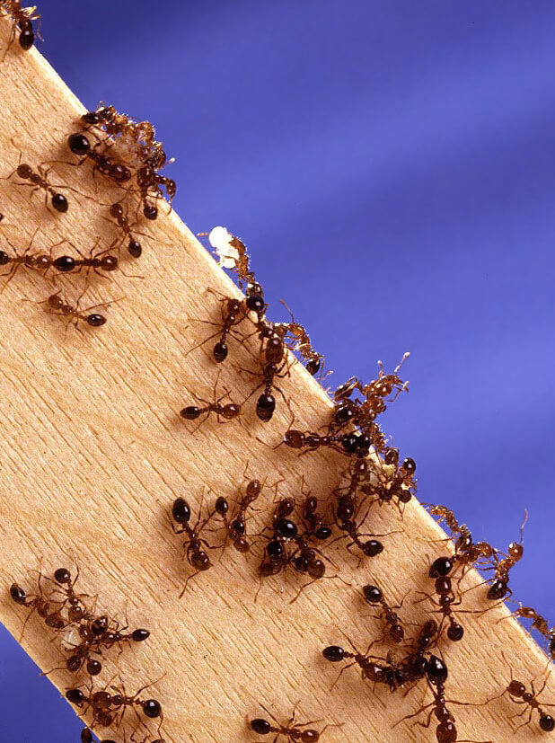 Carpenter ants chew on wood