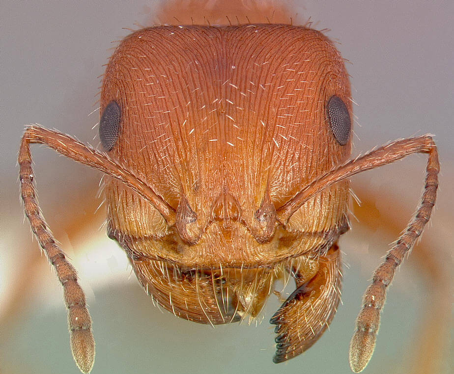 microscope photo Maricopa Harvester Ant