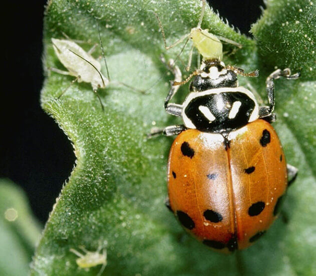 Ladybugs provide natural pest control