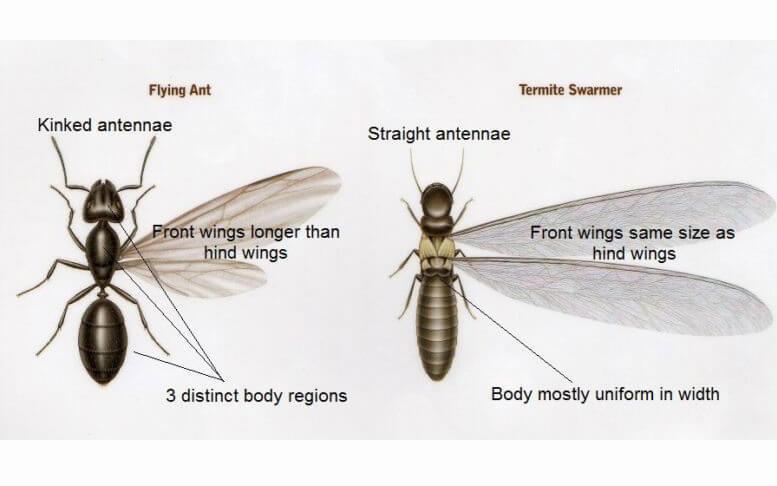 Identify Flying ants vs Termite Swarmers