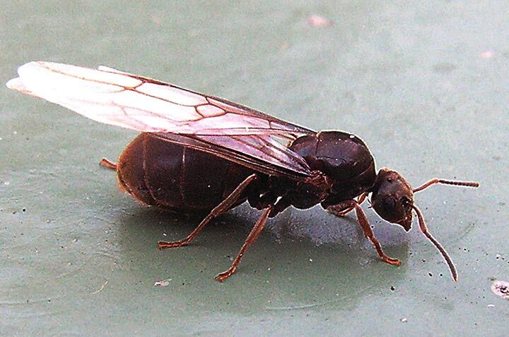 Flying black ant