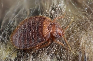 Bed Bug in hair