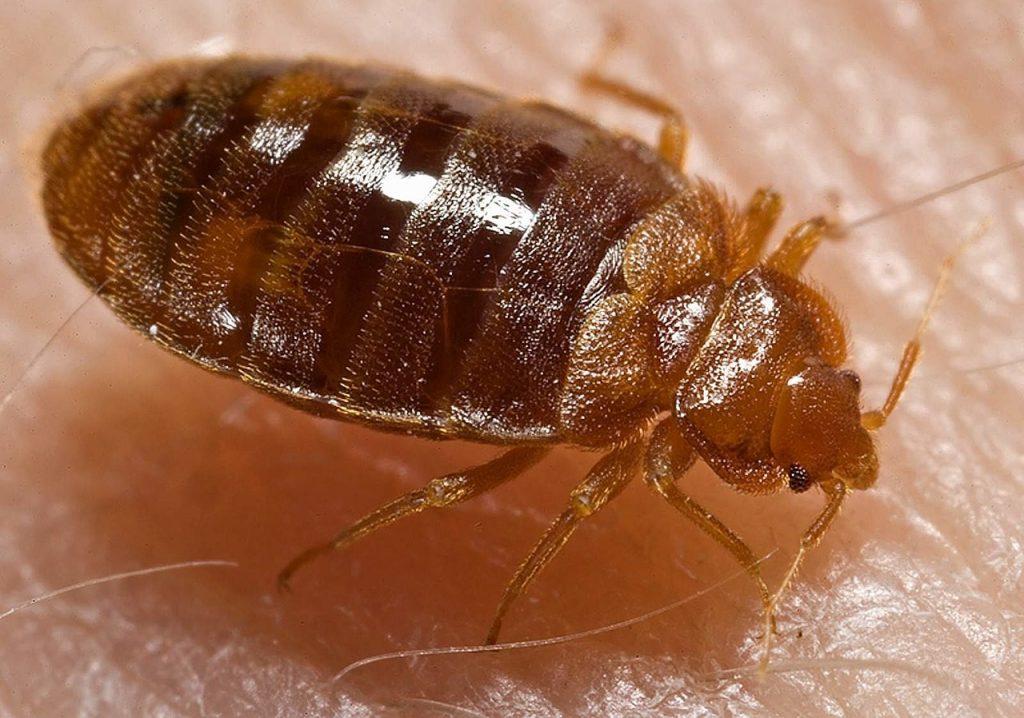 Closeup of a Bed bug
