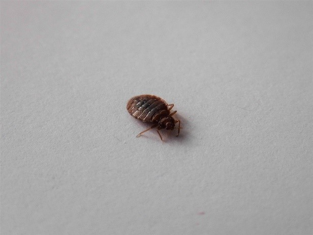 How To Get Rid Of Bed Bugs The Pest Advice