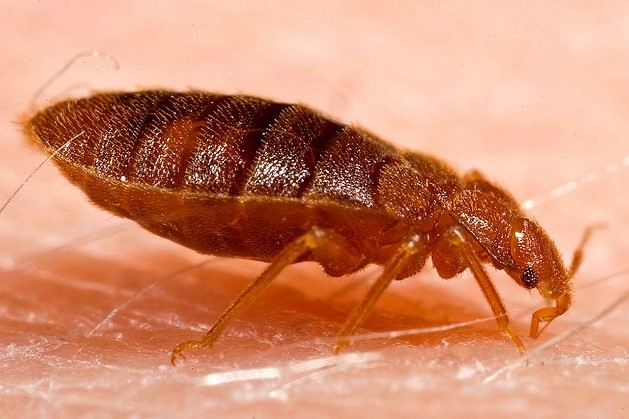 Adult bed bug side view
