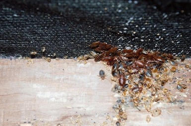 Infestation of bed bugs