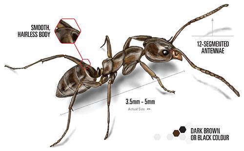 Argentine Ant closeup