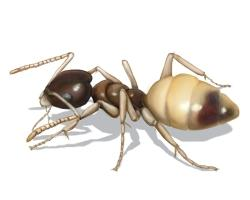 Ghost ant Characteristics