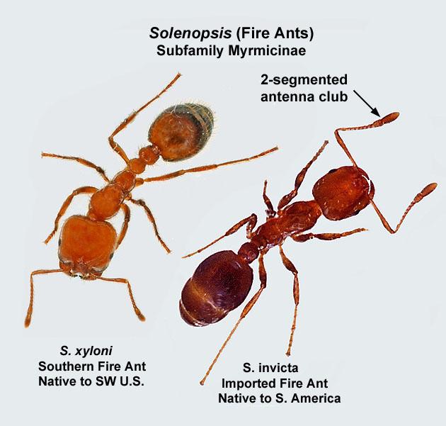 Fire Ant Characteristics