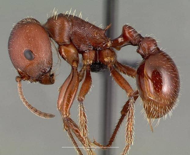 Get Rid Of Harverster Ants